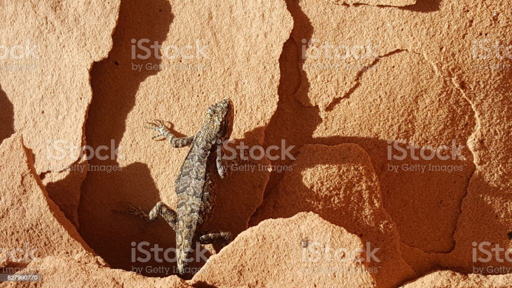 Desert Lizard stock photo