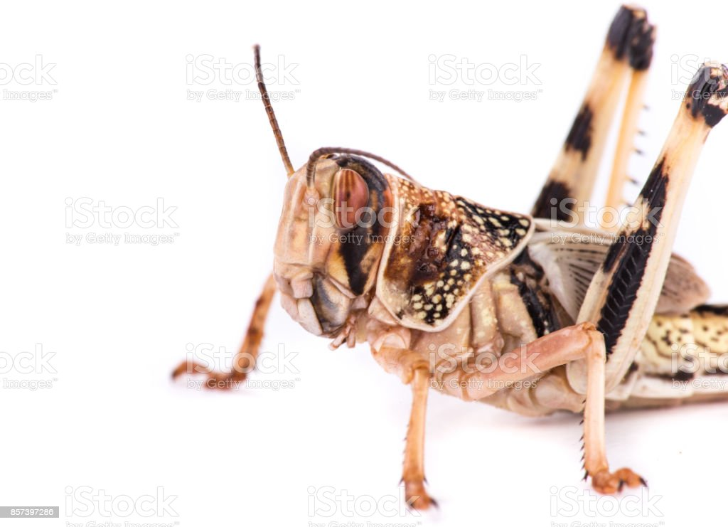 Desert locust on white background stock photo