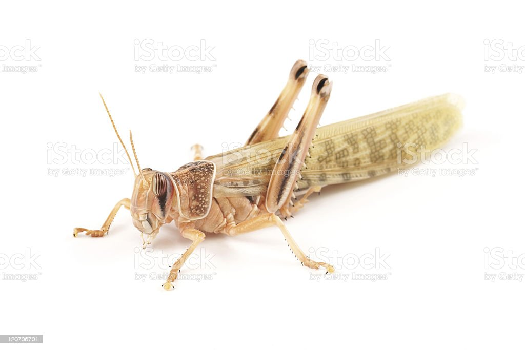 Desert locust (Schistocerca gregaria) royalty-free stock photo