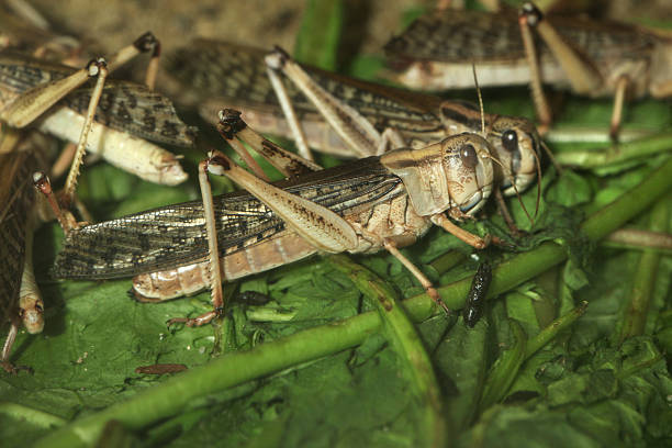 desert locust (schistocerca gregaria). - locust swarm stockfoto's en -beelden