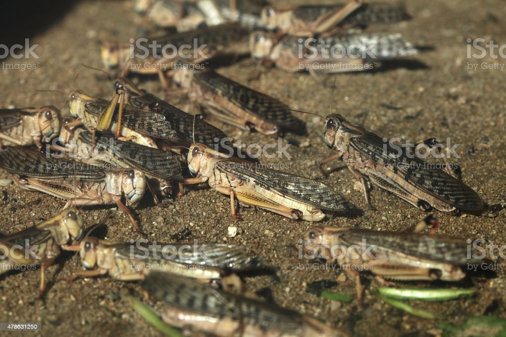 Desert locust (Schistocerca gregaria). stock photo