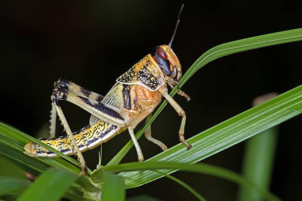 desert locust (schistocerca gregaria) - locust swarm stockfoto's en -beelden