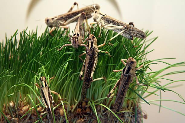 desert locust - locust swarm stockfoto's en -beelden