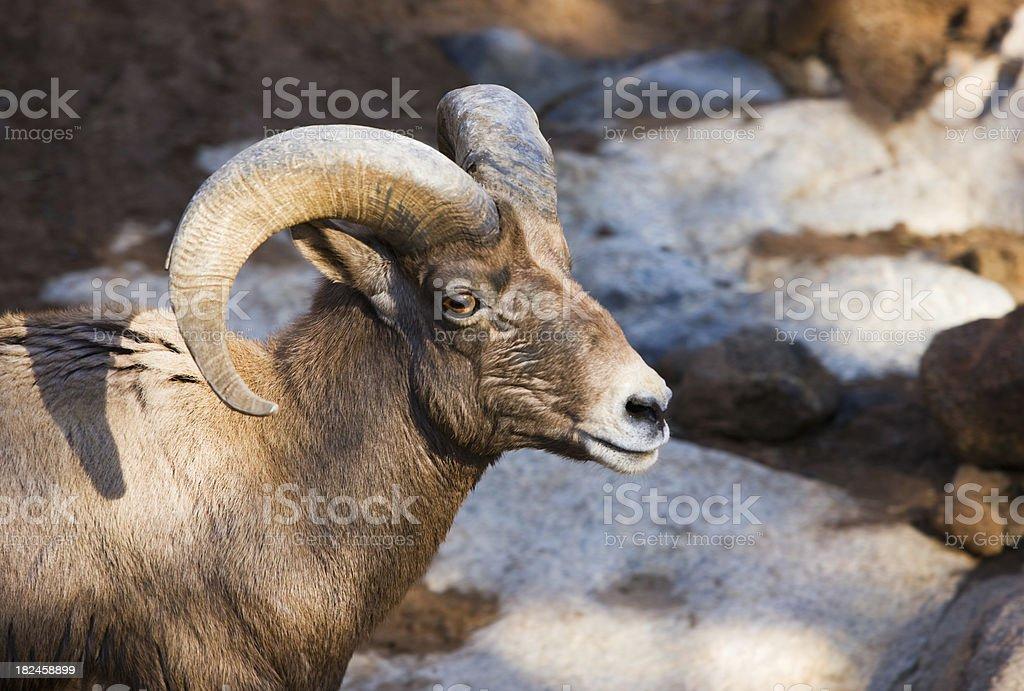 Desierto macho big horn ovejas. foto de stock libre de derechos