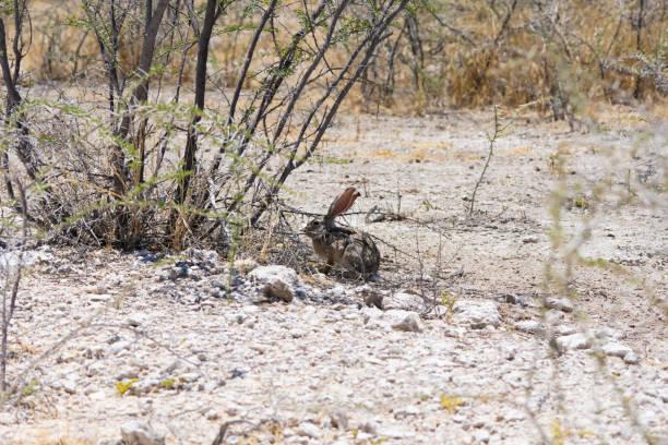 A desert or cape hare stock photo