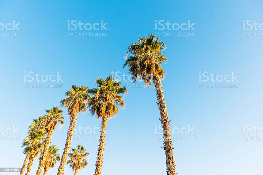 Desert Palm Trees in Downtown Las Vegas stock photo
