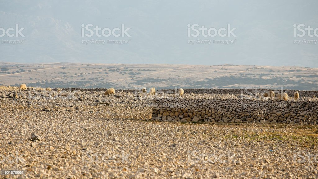 Desert pasture on island Pag with Flock Of Sheep, Pag, Croatia stock photo