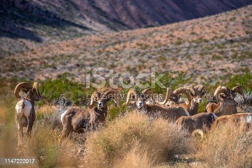 Group of Desert Rams