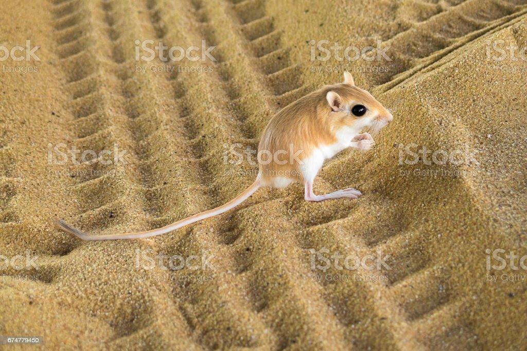 Désert Rat photo libre de droits