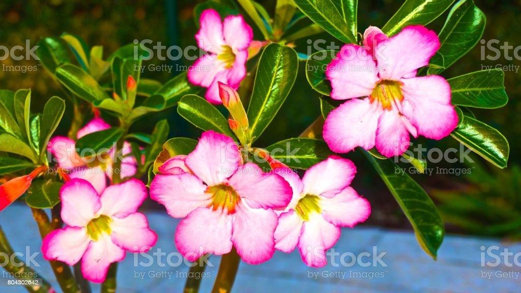 desert rose between branches stock photo