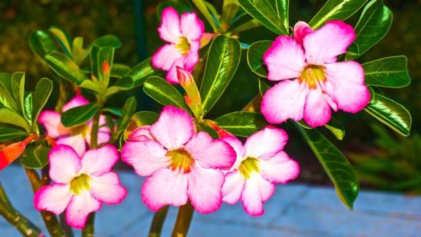 rose du désert entre les branches - rose des sables photos et images de collection