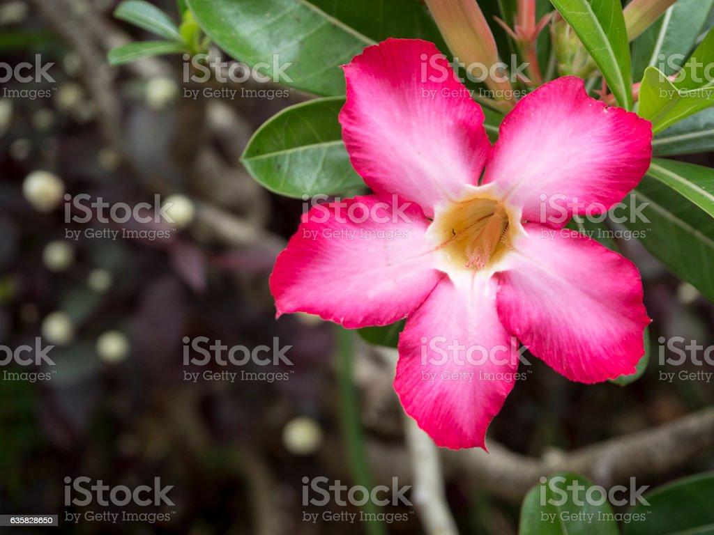 Desert Rose blooming in garden (on right of frame) stock photo