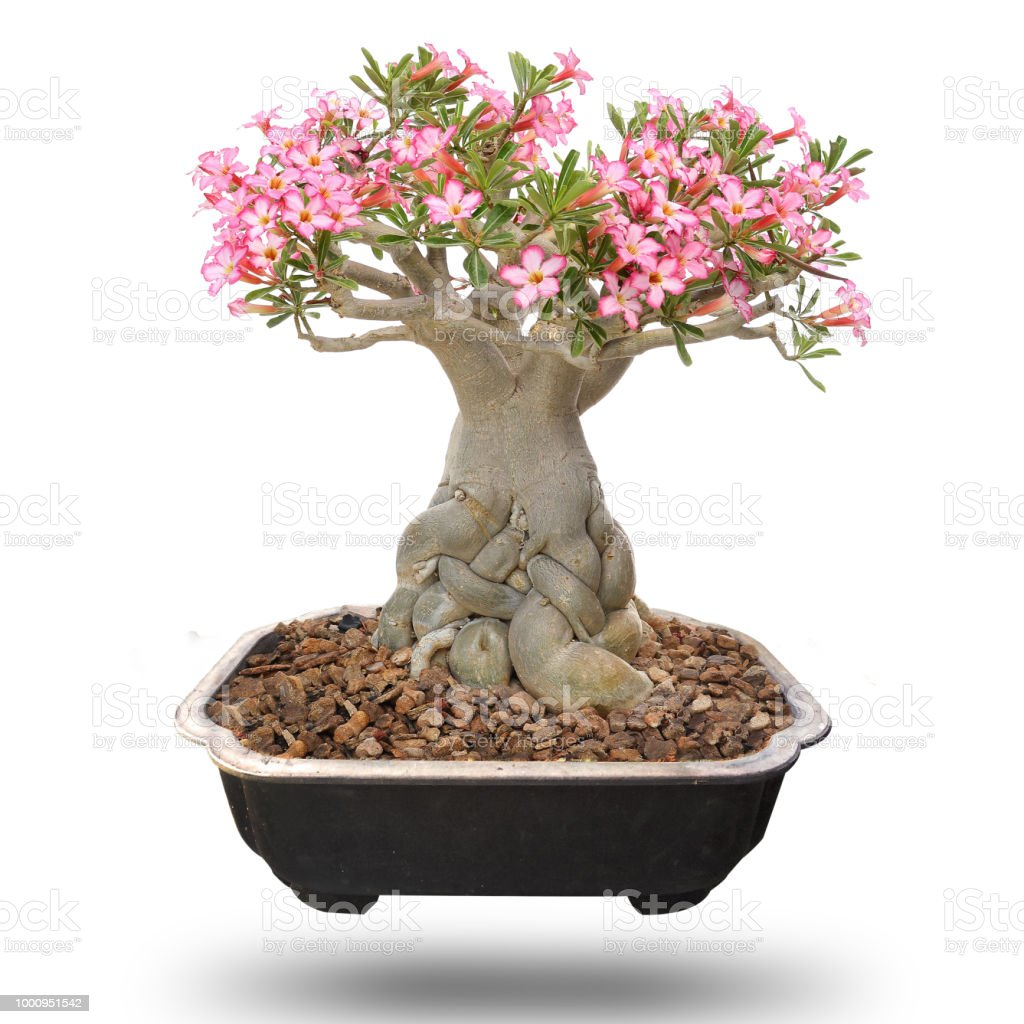 Desert Rose Bonsai Tree Isolated Stock Photo Download Image Now Istock