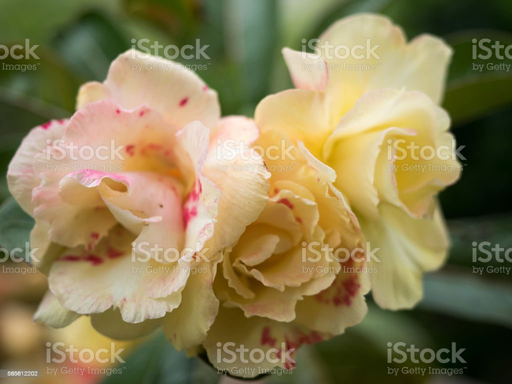 Desert rose flower, Desert rose, Mock Azalea in national garden stock photo