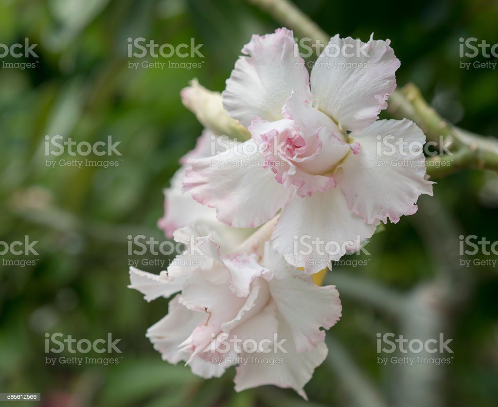 Desert rose flower, Desert rose, Mock Azalea in national garden, stock photo