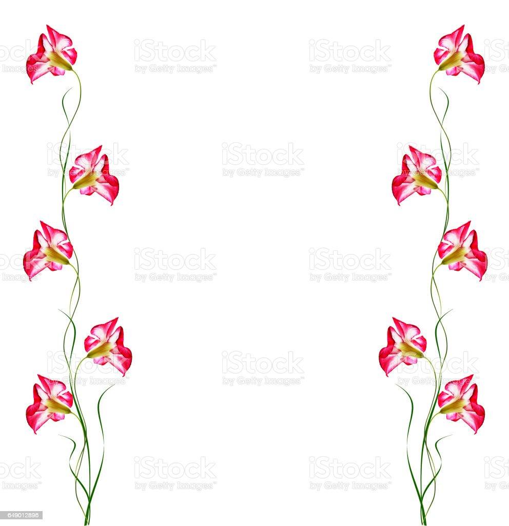 Desert Rose flowers stock photo