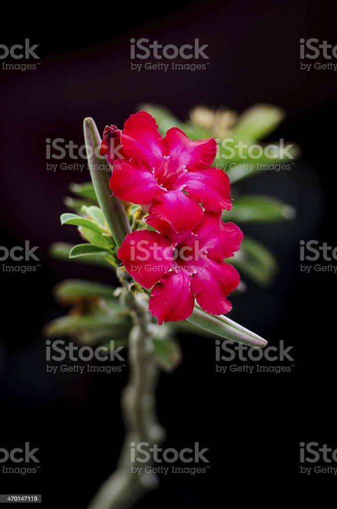 Desert Rose, Impala Lily, Mock Azalea. stock photo