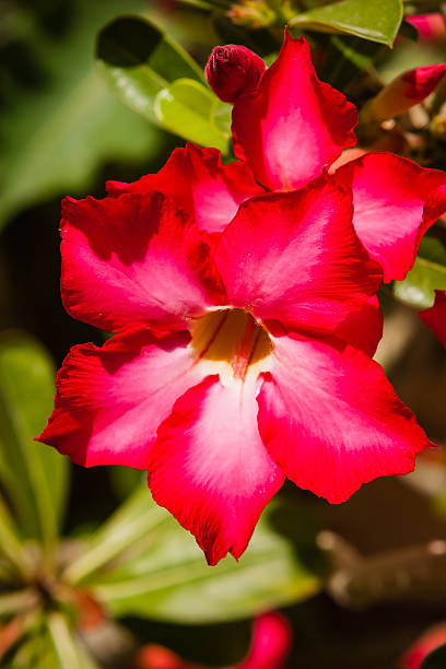 Desert rose or adenium obesum in the uae picture id516795008?b=1&k=6&m=516795008&s=612x612&w=0&h=thd6y9p5m8uqa53pw2id1eukkms2jk5ebs3cgnfqkcu=