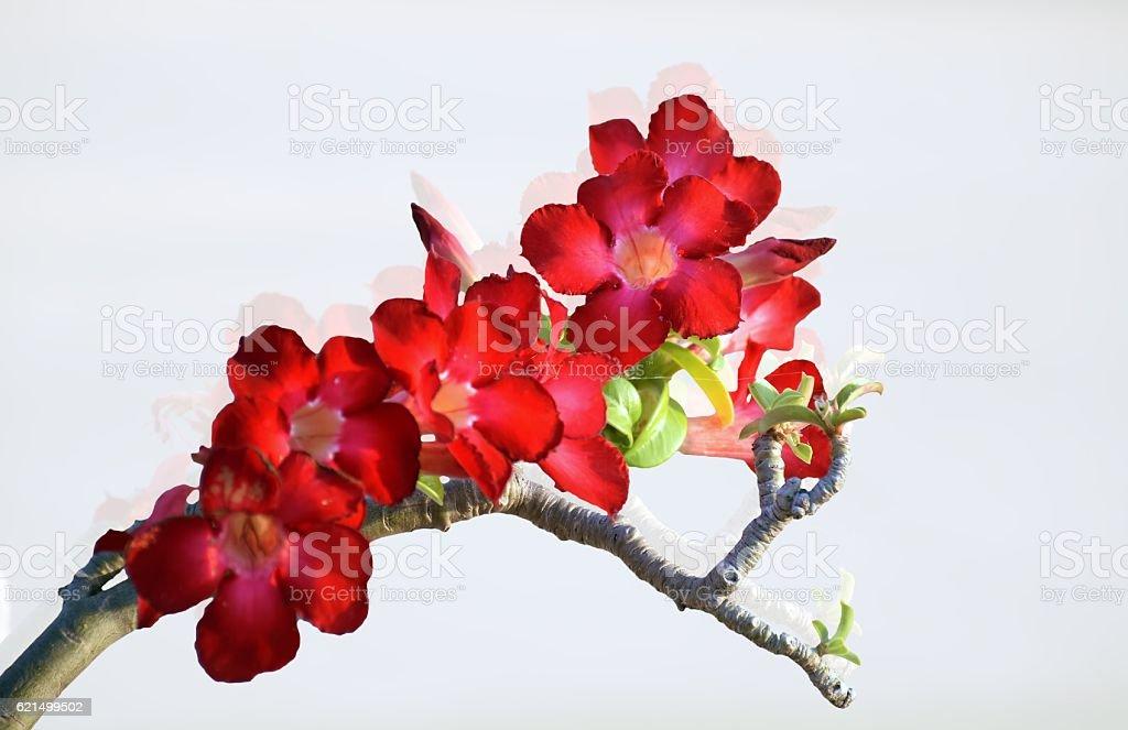 desert rose or Azalea flowers foto stock royalty-free