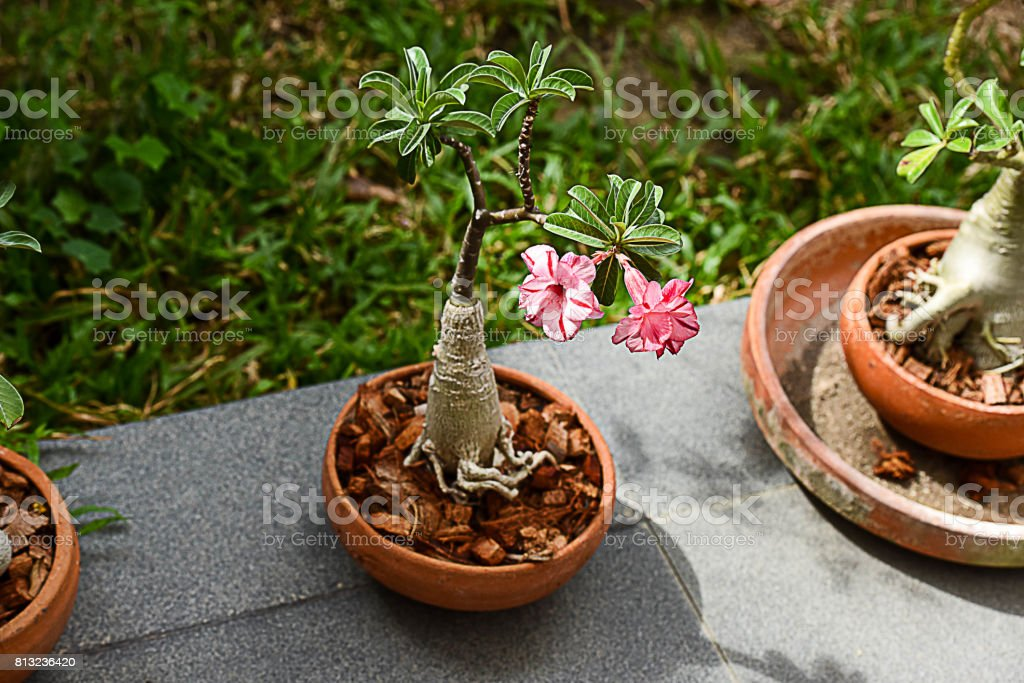 Desert rose stock photo
