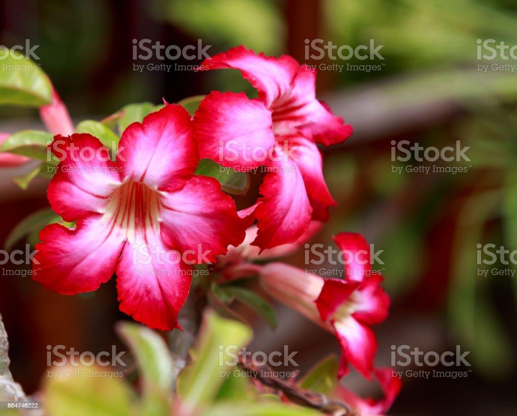 Desert Rose. stock photo