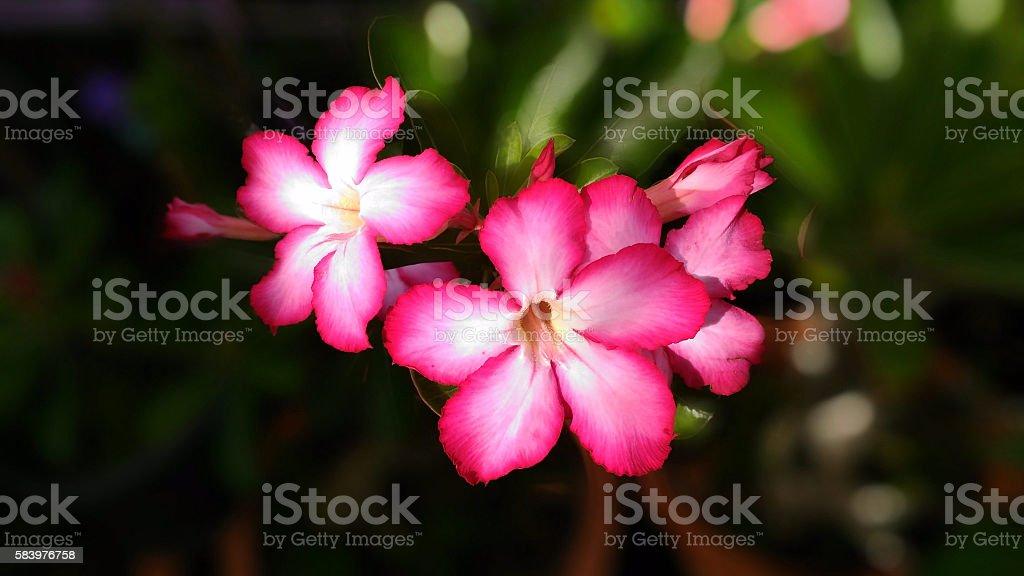 Desert Rose Pink stock photo