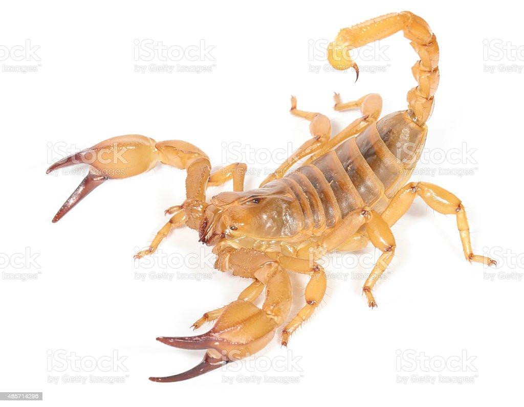 Desert Scorpion stock photo