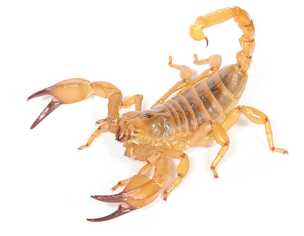 desert scorpion - scorpion stock photos and pictures