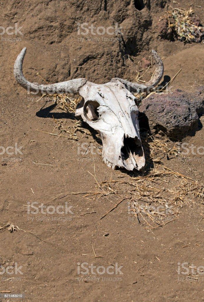 Desert skull stock photo