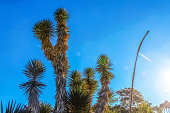 Desert spiny joshua tree cactus plants against blue sky with lens flare and high contrast from sun and shadow