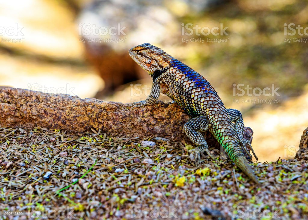 Desert Spiny Lizard in Arizona stock photo