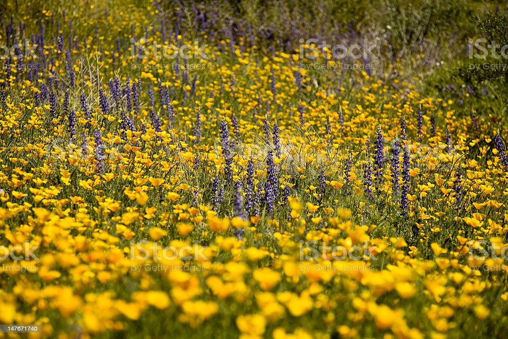 Desert spring wildflowers royalty-free stock photo
