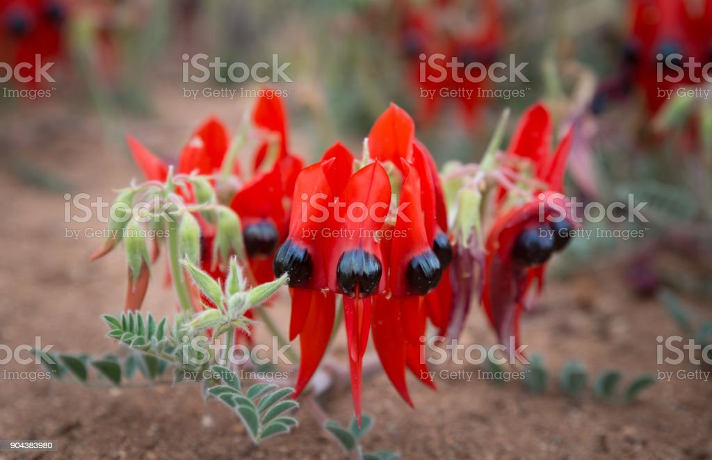 Desert sturt pea flowers stock photo more pictures of alice alice springs australia desert perth australia plant mightylinksfo