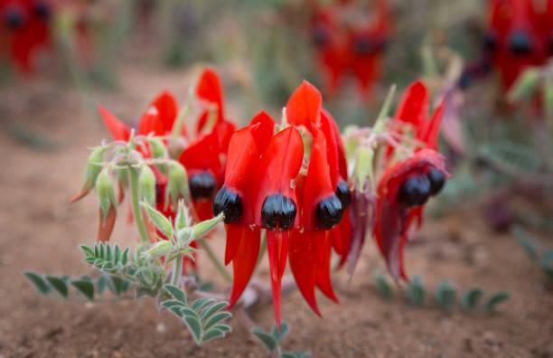 Desert Sturt Pea flowers stock photo