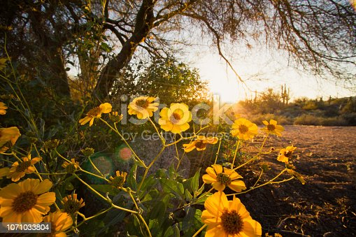 Sunset and backlit desert yellow sunflowers. Sunlight rays shining through the saguaro cactus in the background. Scenic desert landscape in the spring.
