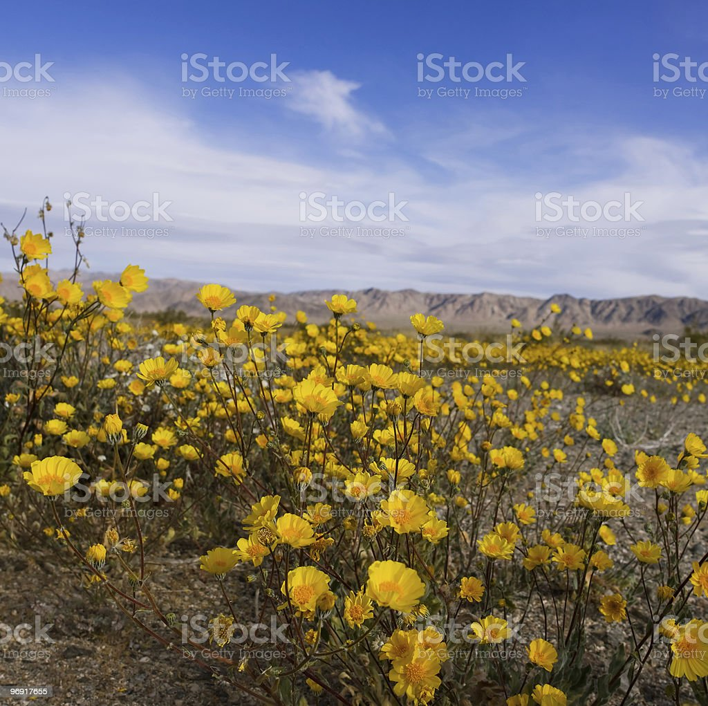 Desert Sunflowers royalty-free stock photo