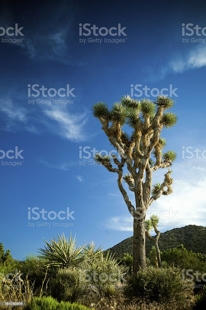 Desert Sunset and Yucca Plants at Joshua Tree stock photo