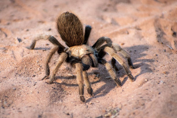 Desert tarantula stock photo
