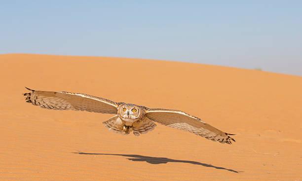 desert tawny owl in a desert near dubai - eule zeichnung stock-fotos und bilder