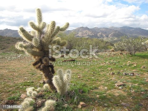 A Teddybear Cholla stands atop a small plateau in the Black Canyon, Arizona. We were careful not to be