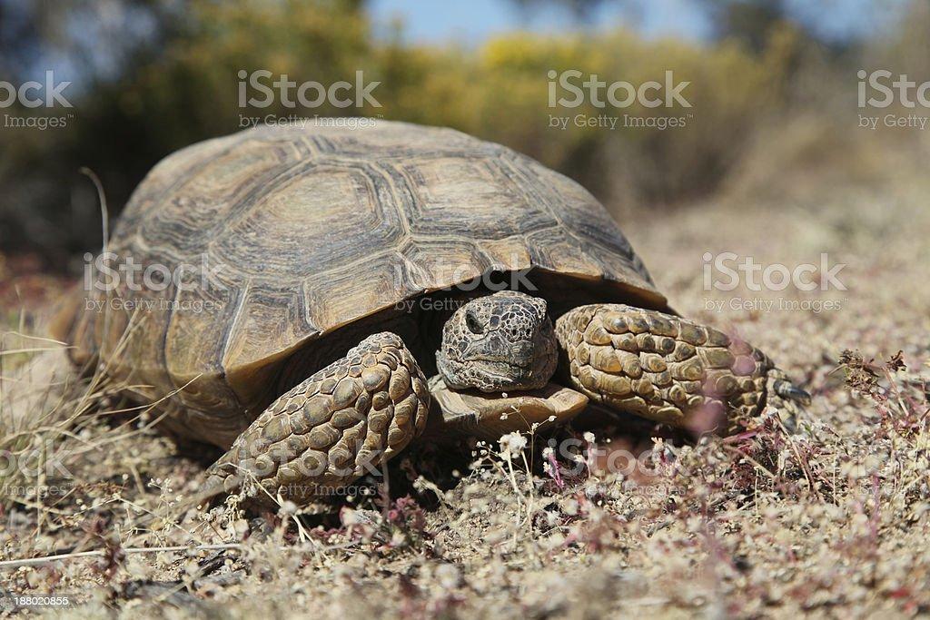 Desert Tortoise Close Up stock photo