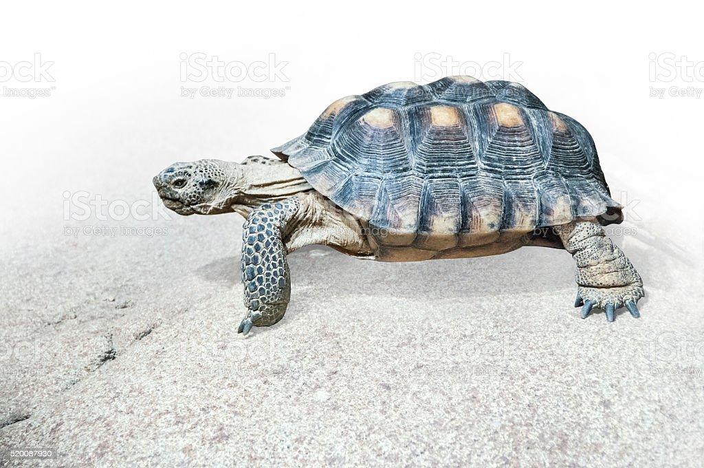 Desert tortoise from Baja California on rock stock photo