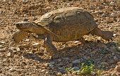 Desert Tortoise, Gopherus agassizi, Red Rock Canyon Conservation Area, Nevada, Mojave Desert, Reptilia, Testudines, Testudinidae, Dry environment animal, desert habitat; native;