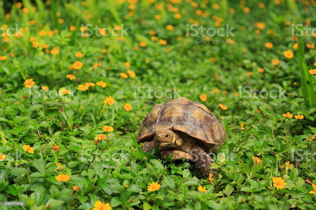 Desert Tortoise in Flowers stock photo