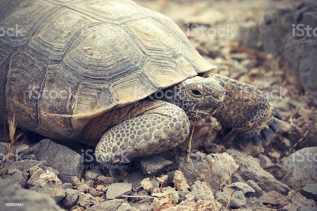 Desert Tortoise in the Mojave stock photo