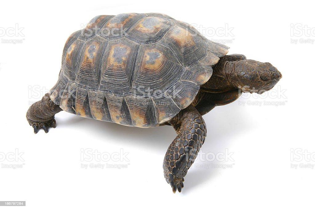 Desert Tortoise Isolated on White stock photo