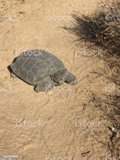 Desert tortoise picture id1204343564?b=1&k=6&m=1204343564&s=612x612&h=zfs4dtgujpr96bllcwmzhxisjptke0lazk0qzkeswo0=