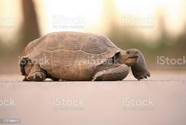 Desert tortoise picture id172198412?b=1&k=6&m=172198412&s=612x612&h=mdbrw1tilos5z0impq1bfhodm tyvsopz9epo0gx0e4=