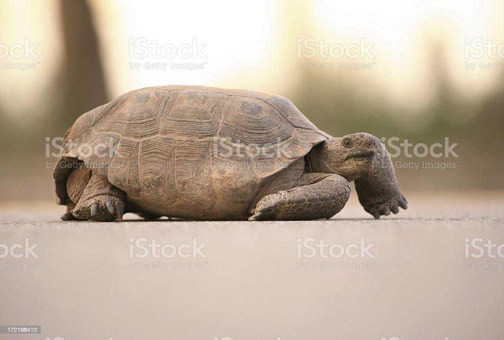 Desert Tortoise stock photo