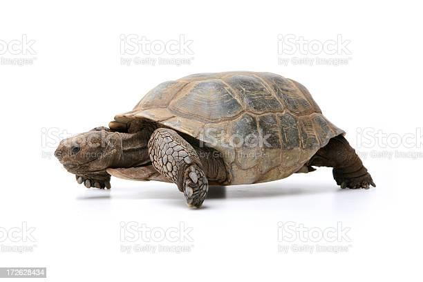 Desert tortoise picture id172628434?b=1&k=6&m=172628434&s=612x612&h=2f0ihprxa83m1ri3ktzvzhmef4nfnlz31sfogxtdubk=